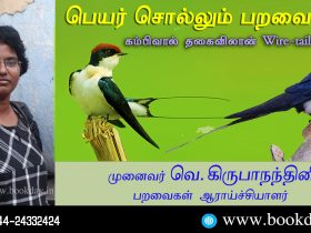 Wire-tailed Swallow: Name Telling Birds Series Article by V Kirubhanandhini. பெயர் சொல்லும் பறவை 18 - கம்பிவால் தகைவிலான் Wire-tailed Swallow